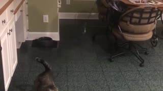 Gray cat with balloon tied to its tail - Video