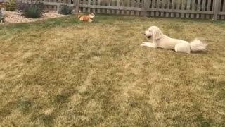 White dog running around yard