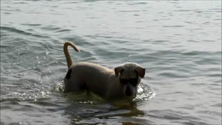 Party dog looks for tropical fishes - Video