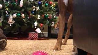 Brown boxer dog plays with pink ball