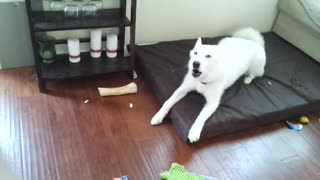 Husky throws temper tantrum!