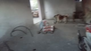 Funny dog jumps to play with other dogs - Video