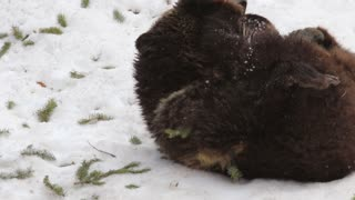 Female Grizzly Bear Plays in Spring Snow