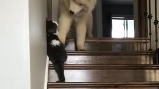 Big white dog plays with cat - Video