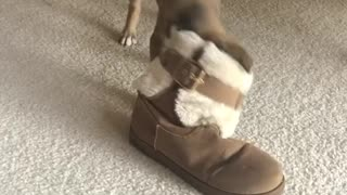 Small dog chews on owners fur boot