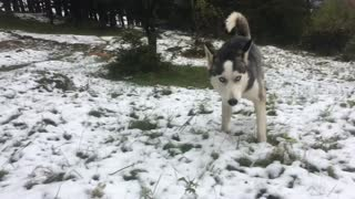 Husky First snow in 2016 winter  - Video