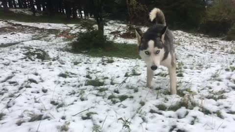 Husky First snow in 2016 winter