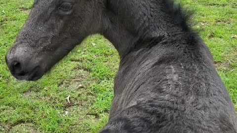 Sweet 2-day-old foal loves his back scratches