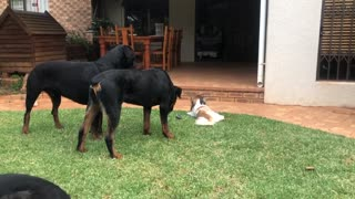 Rottweiler Takes the ball of a Pekingese, funny!!