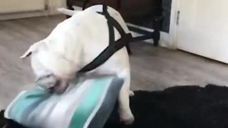 Naughty Bulldog destroyes expensive pillow