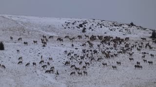 Large Elk Herd Feeding Over Ridge