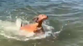 Dog enjoys swimming first time