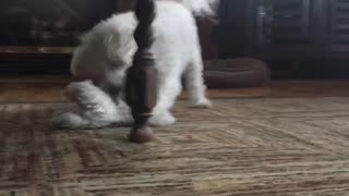 He plays fetch with himself - Video