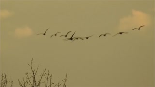 So Many Geese!!!  - Video