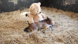 Orphan Pony Sleeps With Teddy Bear - Video