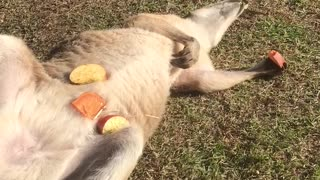 Wallaby Snacks in the Sun