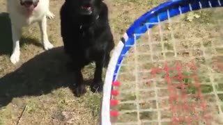 Girl throws tennis ball to two dogs outside  - Video