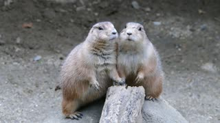 Prairie Dogs Pose for Pictures