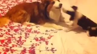 Dog and puppy play fighting on bed - Video