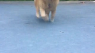 A golden retriever runs to a camera  - Video