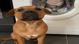 Puppy Doesn't Want His Favorite Toy to be Washed