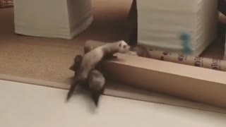 Ferrets Trying To Hold A Bone