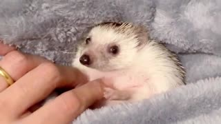 hedgehog after shower time so cleaned