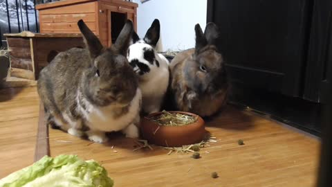 Caught the moment my bunnies eat together