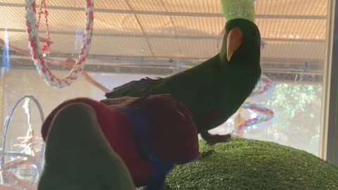 Eclectus Parrot can only look on while his girl flirts with a conure