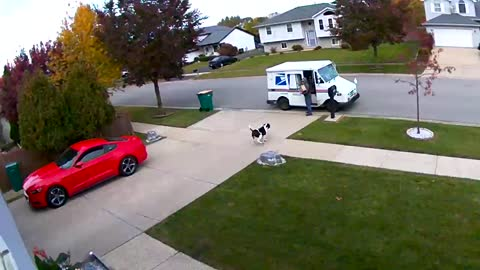 This American Bulldog Is Super Excited To Deliver The Mail