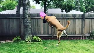 Collab copyright protection - brown dog blue bandana faceplant - Video