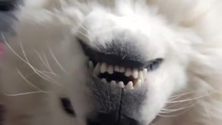 White dog smiles at owner with head turned upside down - Video