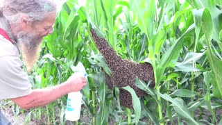 Removing a Swarm of Bees from a Cornfield - Video