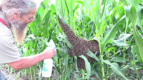 Removing a Swarm of Bees from a Cornfield