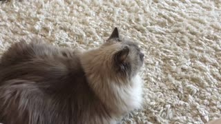 Kitty has morning chat with birds  - Video