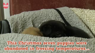 Seven Cute Puppies Abandoned This Christmas - Video