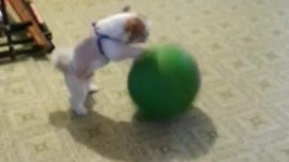 Puppy Proves He's An All Star With His Dribbling Skills - Video