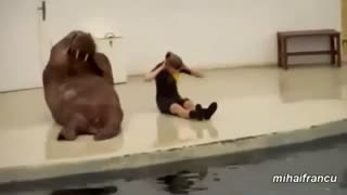 Walrus does sport - sit ups. Funny Animals