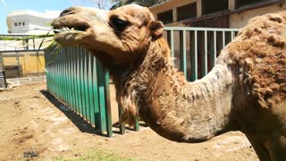 Hungry African Camel Eats Tourist Green Grass