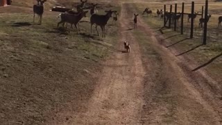 Tiny dog chases away herd of deer - Video
