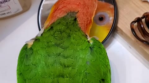 Adorable parrot admiring himself in the mirror