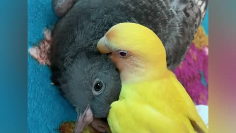 Sweet parrot cuddles with pigeon best friend