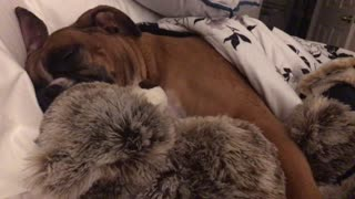 Boxer preciously cuddles teddy bear during sleep - Video