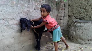 little kids playing with pet goat - Video