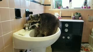 Bored raccoon chills out in bathroom sink