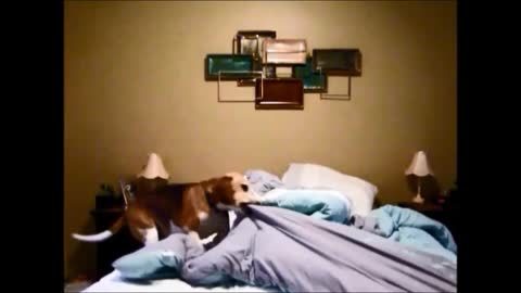 Tidy Beagle Puppy Presents His Unique Bedtime Routine