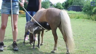 (VIDEO) Must See: Small and Adorable – One of The World's Smallest Horses! - Video