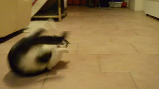 Introducing the somersaulting cat! - Video