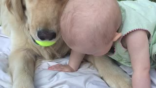 Golden Retriever sweetly takes tennis ball from baby