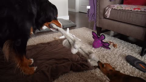Shocking tug-of-war upset between chihuahua and Bernese Mountain Dog